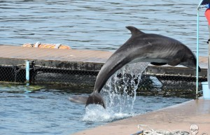 a-visibly-underweight-bottlenose-dolphin-appears-to-be-starving-at-dolphin-base-892
